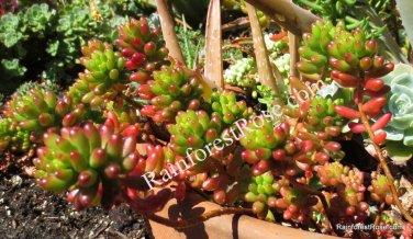 3 cuttings Sedum rubrotinctum Brown Bean Cactus Succulents plant