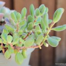 1 Sedum bean shape cutting or plant cactus succulents