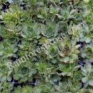 1 Sempervivum HARDY MIX plant NAMED Cactus Succulents Plants labeled
