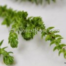 3 Crassula lycopodioides cuttings Cactus Succulents plants fast spread