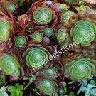 WHOLE LIVE CUT Aeonium hybrid catlin succulents burgundy petals ixtlahuacan