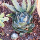 WHOLE LIVE PLANT mature Agave hybrid with roots Desert Rose cactus succulent