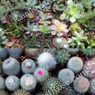 40 Assorted succulents and cactus 2 inch pots cacti succulent plants