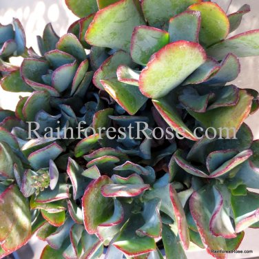 Wave Leaf Jade Blue Bird Crassula arborescens undulatifolia cutting Succulents