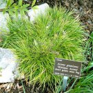 Acorus gramineus Minimus Aureus 50 ornamental grasses starter plants Zone 4-11