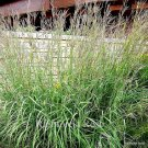 Andropogon gerardii (38) ornamental grasses Product USA Zone 3-9