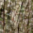 Andropogon virginicus 38 Broom Sedge NATIVE grasses plug tray Zone 3-9