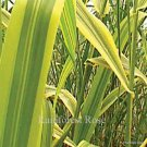Arundo donax Golden Chain (21) giant reed grasses Product USA Zone 6-11