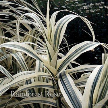 Arundo donax Peppermint Stick 21 ornamental grasses Product USA Zone6-11