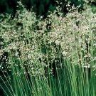 Briza media (50) ornamental Quaking Grass Product USA Zone 4-10 cell plugs