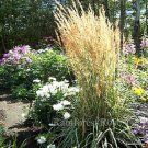 Calamagrostis xacutiflora Avalanche (72) ornamental grasses reed Zone 4-10