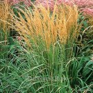 Calamagrostis Karl Foerster (38) grasses Product USA 2001 winner Zone 4-10
