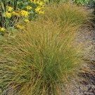 Color Grass - Carex testacea Prairie Fire 72 plants ornamental grasses Zone 6-9