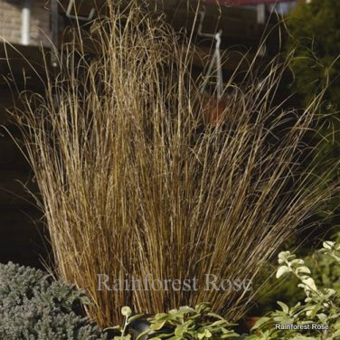 Color Grass Carex buchananii Red Rooster (72) ornamental sedge Zone 7-9