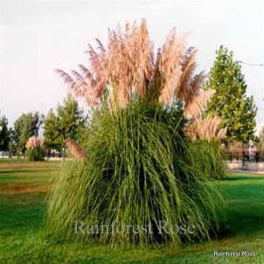 Cortaderia Rosea (38) ornamental grasses USA grown pink pampas Zone 8-10