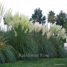 Cortaderia selloana White (38) grasses USA grown white pampas Zone 8-10