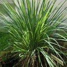 Cymbopogon citratus (38) Lemon Grass ornamental grasses Product USA  Zone 9