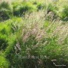 Deschampsia cespitosa 50 ornamental grasses USA grown Hair grass Zone 4-9