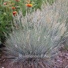 Festuca Boulder Blue Fescue 50 ornamental grasses USA grown lot Zone 4-8