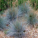 Festuca glauca Elijah Blue 50 ornamental grasses wholesale Zone 4-8