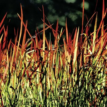 Imperata cylindrica Red Baron 72 Japanese Blood Grass wholesale Zone 6-9