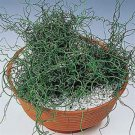 Juncus filiformis Spiralis 72 Rush ornamental grasses tray USA Zone 5-11
