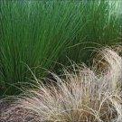 Juncus pallidus Fantastic Foliage Javelin 38 wholesale Zone 7-11