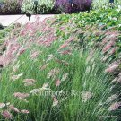 Melinis Melinus savannah 50 pink ruby crysta grasses wholesale Zone 9-11