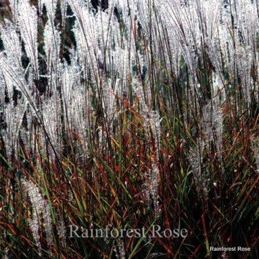 Miscanthus Purpurascens 72 Autumn Flame ornamental grasses Zone 4-8