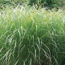 Miscanthus sinensis Autumn Light (38) Maiden grasses made in USA Zone 4-10