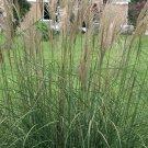 Miscanthus Punktchen Little Dot 38 Dwarf Porcupine Grass Made in USA Zone 5-10