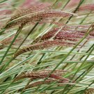 Miscanthus Rigoletto 38 Variegated Japanese Silver Grass Made in USA Zone 5-10