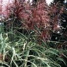 Miscanthus condensatus Cosmopolitan 38 Japanese Silver Grass Zone 5-10  tray