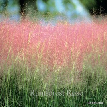 Muhlenbergia capillaris 72 ornamental Muhly grasses in tray Zone 6-10