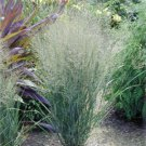 Panicum virgatum Northwind (38) wholesale Switch Grasses bulk Zone 4-10