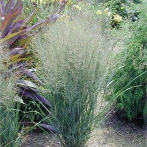 Panicum virgatum Northwind (38) wholesale Switch Grasses bulk Zone 4-10