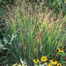 Panicum virgatum Shenandoah 38 plants Switch Grasses wholesale Zone 4-10