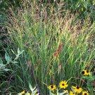 Panicum virgatum Shenandoah 72 plants Switch Grasses wholesale Zone 4-10