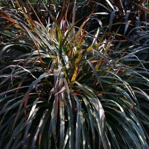 Ornamental Grasses Zone 7 Pennisetum princess molly 38 ornamental napier grass zone 7 11 burgundy workwithnaturefo