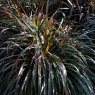 Pennisetum Princess Molly 38 Ornamental Napier Grass zone 7-11 BURGUNDY