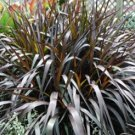 Pennisetum Princess Caroline 38 Ornamental Napier Grass zone 7-11 PURPLE