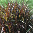 Pennisetum Princess 38 Ornamental Napier Grass zone 8-11 DEEP PURPLE