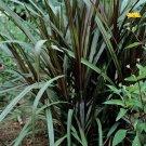 Pennisetum Prince 38 Ornamental Fountain Grasses zone 8-11 DEEP PURPLE