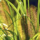 Pennisetum alopecuroides Moudry 38 Fountain Grasses plug tray Zone 6-9