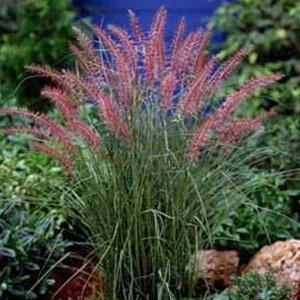Pennisetum Karley Rose 38 Ornamental Napier Grass zone 5-9 DEEP GREEN