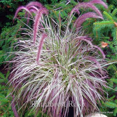 Pennisetum Cherry Sparkler 38 grasses wholesale pink white Zone 9-10