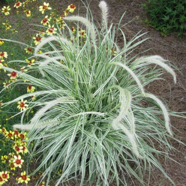 Pennisetum xadvena Skyrocket 38 Variegated fountain grasses Zone 9-11
