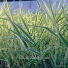 Phalaris arundinacea picta 38 ornamental grasses wholesale Zone 4-9
