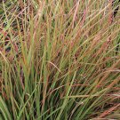 Schizachyrium scoparium Blaze 38 ornamental grasses Little Bluestem Zone 3b-10