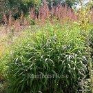 Spodiopogon sibiricus 38 plants ornamental grasses wholesale Zone 4-9